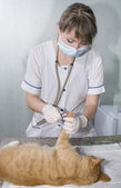 Wounded cat treated by veterinarians — Stock Photo