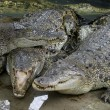 Stock Photo: Wildlife crocodiles