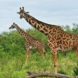Wild Giraffes in the savannah  — Stock Photo
