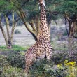 Wild Giraffes in savanna — Foto Stock #19800605