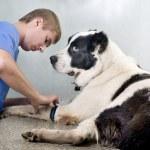 medico veterinario facendo un checkup — Foto Stock #19801175