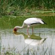 African Yellow billed Stork - Stock Photo