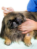 Vet giving an injection to a pekingese — Stock Photo