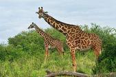 Wild Giraffes in the savannah — Stock Photo