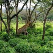 Wild Giraffes in savanna — Foto Stock #21006287