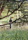 Southern Yellowbilled Hornbill's. tockus leucomelas. Africa — Stock Photo