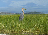 Goliath heron standing in water — Stock Photo