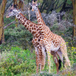 Wild Giraffes in the savanna - Stock Photo