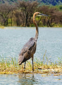 Goliath Heron (Ardea goliath), Lake Baringo, Kenya — Stock Photo