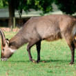 Stock Photo: Waterbuck (Kobus ellipsiprymnus) antelope