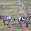 Zebras in african savanna — Stock Photo