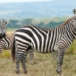 Stock Photo: Zebras in african savanna