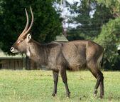 Waterbuck (Kobus ellipsiprymnus) antelope — Stock Photo