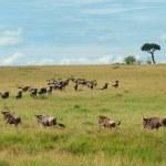 Постер, плакат: Wildebeest Migration Maasai Mara Kenya