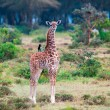 Wild Giraffes in savanna — Foto Stock #30163499