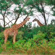 Wild Giraffes in the savanna — Stock Photo