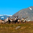 Stock Photo: Team reindeer in tundra