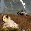 Dog and reindeers in tundra — Stock Photo
