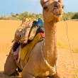 Stock Photo: Camel in Desert,Jaisalmer, India
