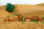 кормление верблюдов во время паузы сафари в пустыне — Стоковое фото