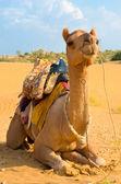 Een kameel in woestijn, jaisalmer, india — Stockfoto