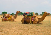 A camels in Desert,Jaisalmer, India — Stock Photo