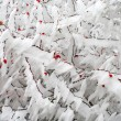 Frozen briar covered with ice — Stock Photo