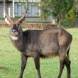 Waterbuck (Kobus ellipsiprymnus) antelope — Stock Photo