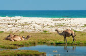 Camels on the beach, Oman, Middle East — Stock Photo