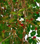 Tropical banyan tree (ficus benghalensis) — Stock Photo