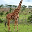 Foto Stock: Wild Giraffes in savanna