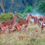 Wild Impala antelopes during a rain, african savanna — Stock Photo #37695737