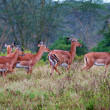 Stock Photo: Wild Impalantelopes during rain, africsavanna