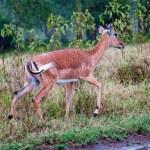 Wild Impala antelopes during a rain, african savanna — Stock Photo #37695849
