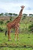 Wild Giraffes in the savanna — Stock Photo