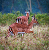 Wild Impala antelopes during a rain, african savanna — Stock Photo