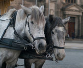 Horses harnessed to the carriage — Stock Photo