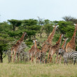 Wild Giraffes in savanna — Foto Stock #41000267