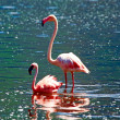 Flamingos in the lake — Stock Photo