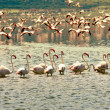 African flamingos in the lake — Stock Photo