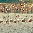 African flamingos in the lake  — Stock Photo #41424867