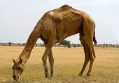 Camels eating grass in the desert  — Stock Photo