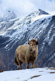 Yak in the mountains — Photo