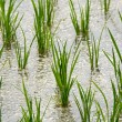Rice growing in the rice field — Stock Photo #45859833