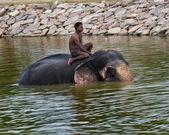 Elefanten schwimmen — Stockfoto