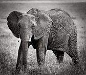 Elephants in maasai mara national park — Stock Photo