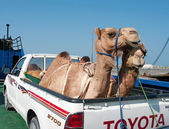 Transportation of camels — Stock Photo