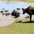 Buffalo at waterhole. — Stock Photo
