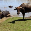 Buffalo at waterhole. - Foto Stock