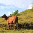The calf on the background of the mountain - Foto Stock